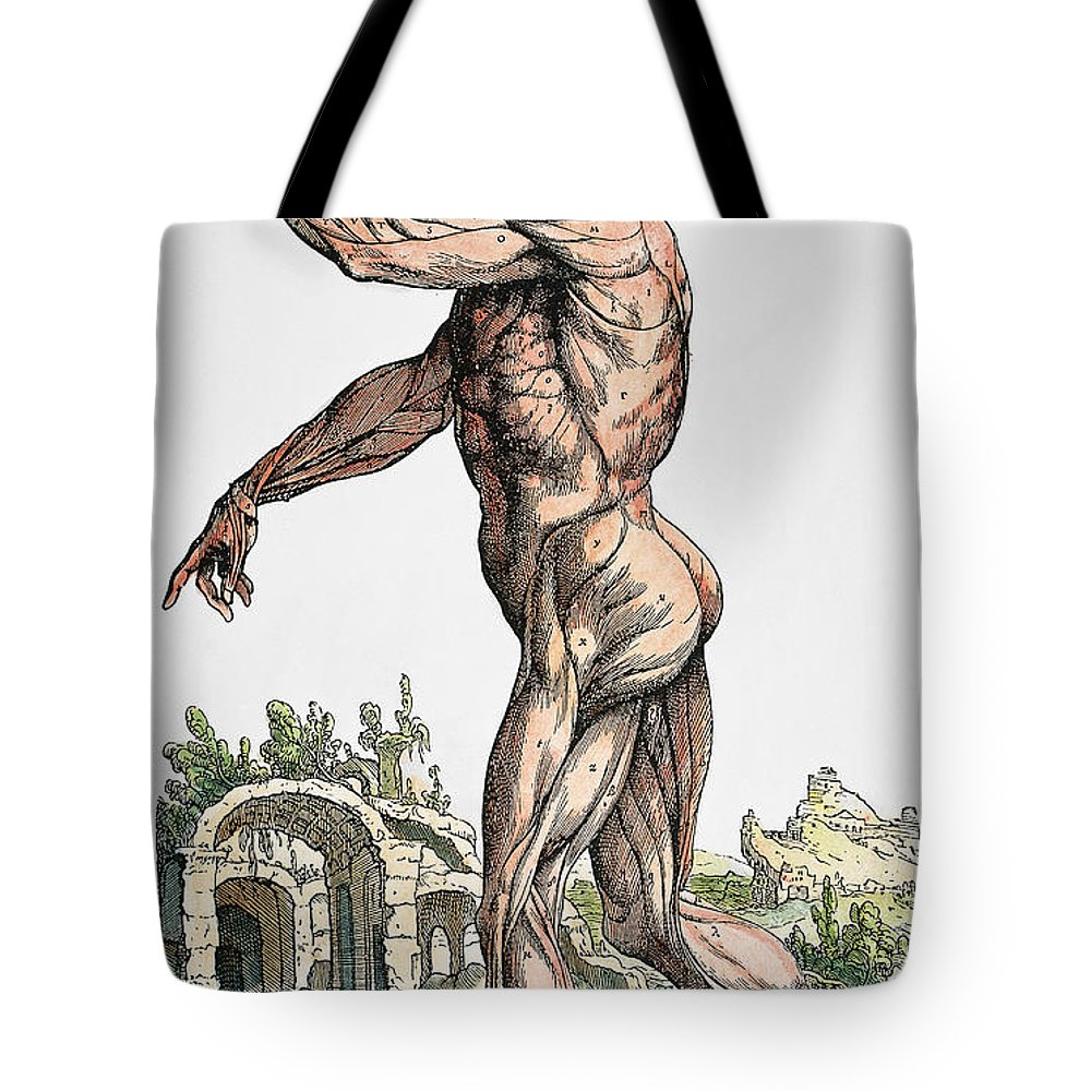 1543 Tote Bag featuring the photograph Vesalius: Muscles 02, 1543 by Granger