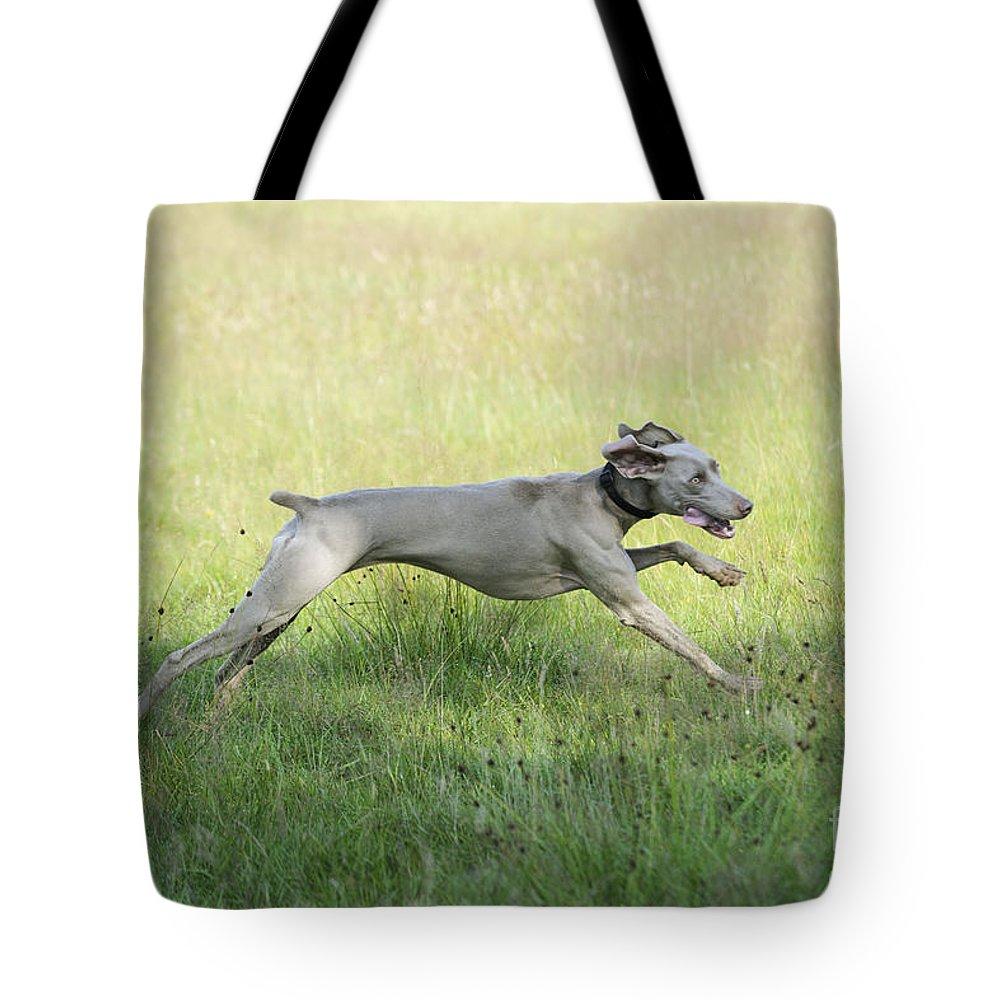 Weimaraner Tote Bag featuring the photograph Weimaraner Dog Running by John Daniels