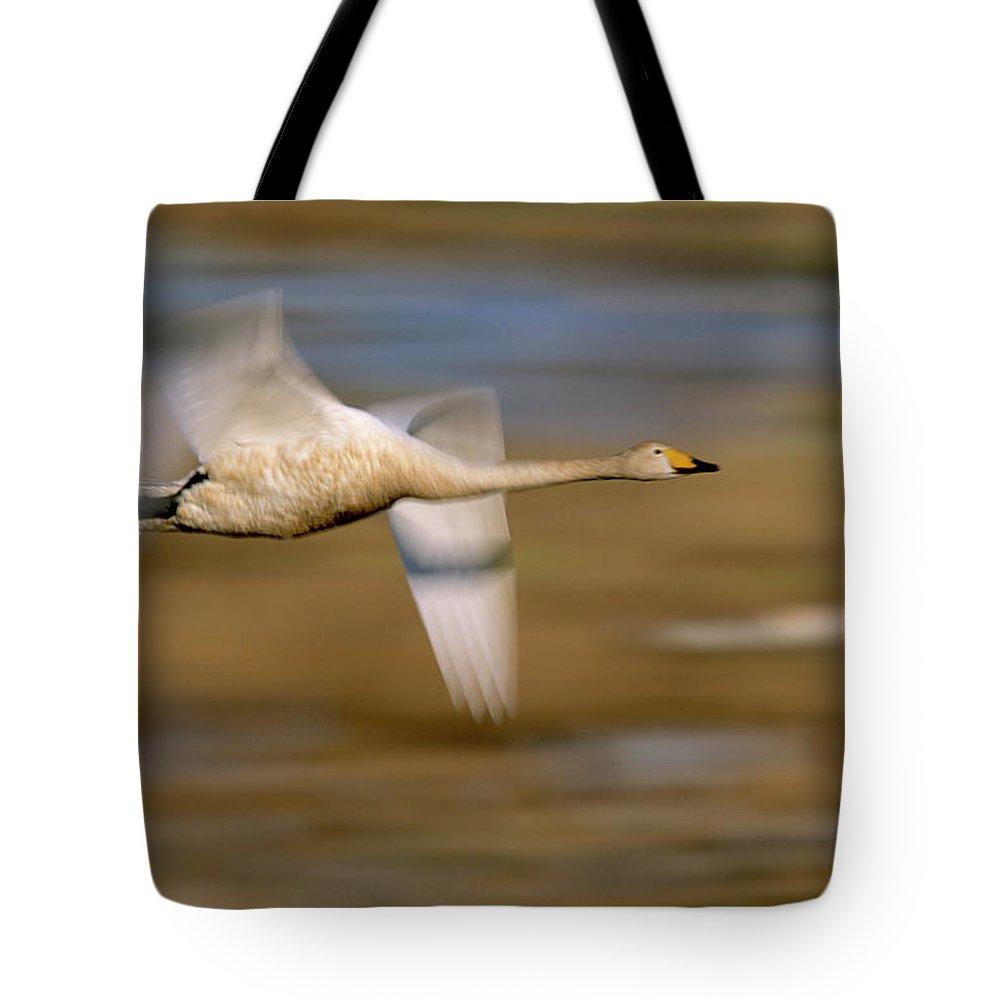 Fn Tote Bag featuring the photograph Whooper Swan Cygnus Cygnus Flying by Winfried Wisniewski