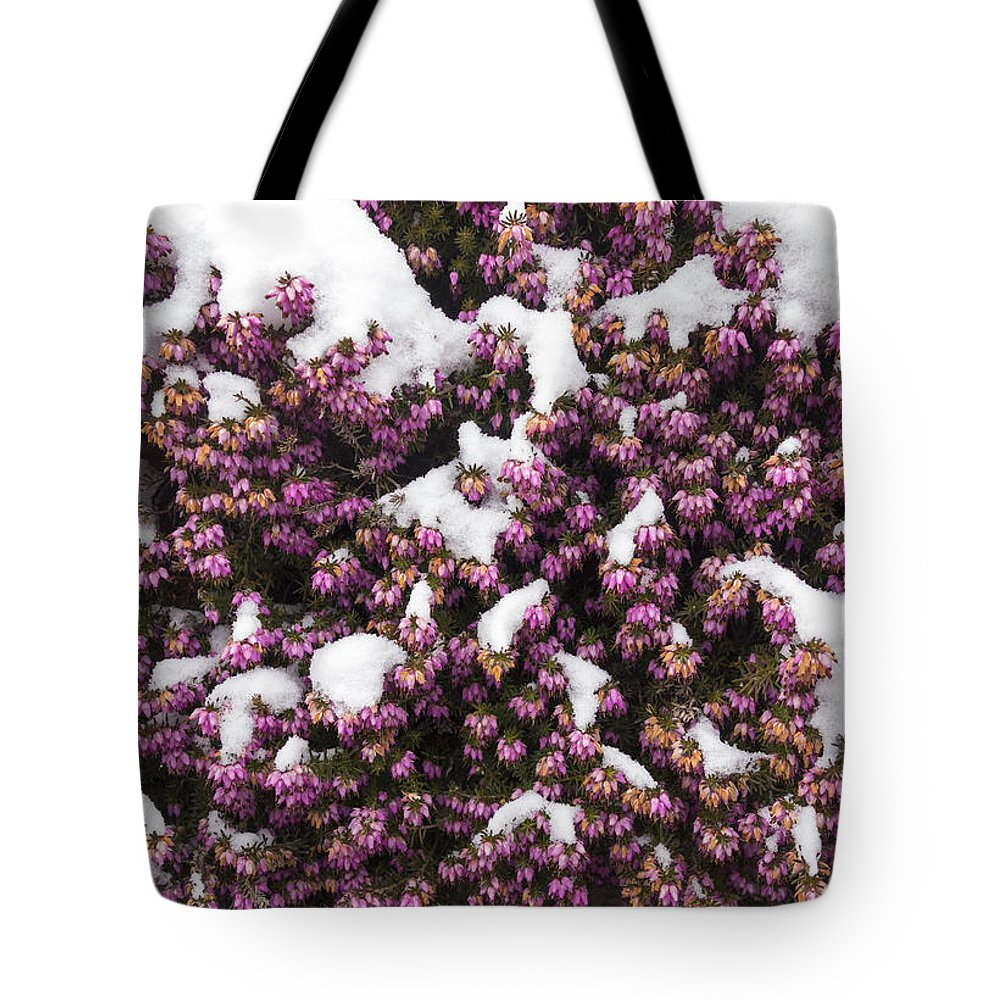 Winter Flowering Heather Erica Carnea In Spring Covered With Snow