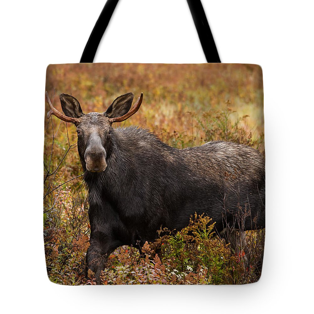 Bull Moose Tote Bag featuring the photograph Young Bull Moose Being Aggressive by Jonathan Steele