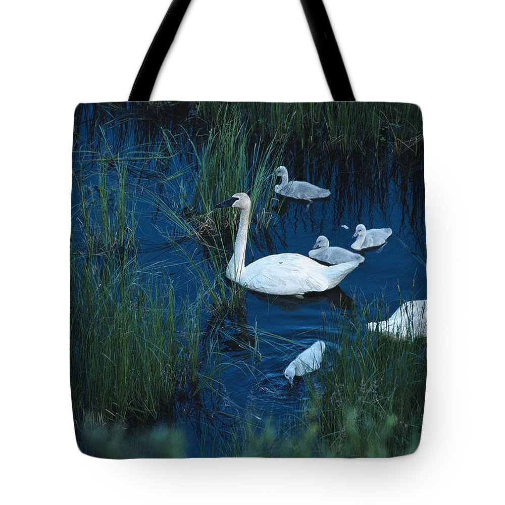Animals Tote Bag featuring the photograph A Family Of Trumpeter Swans Swims by Melissa Farlow