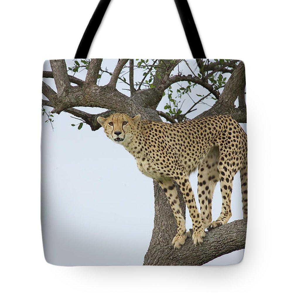 Mp Tote Bag featuring the photograph Cheetah Acinonyx Jubatus Female by Suzi Eszterhas