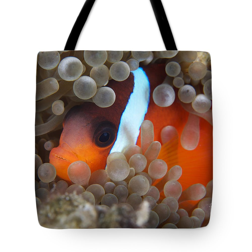 Amphiprion Melanopus Tote Bag featuring the photograph Cinnamon Clownfish In Its Host Anemone by Terry Moore