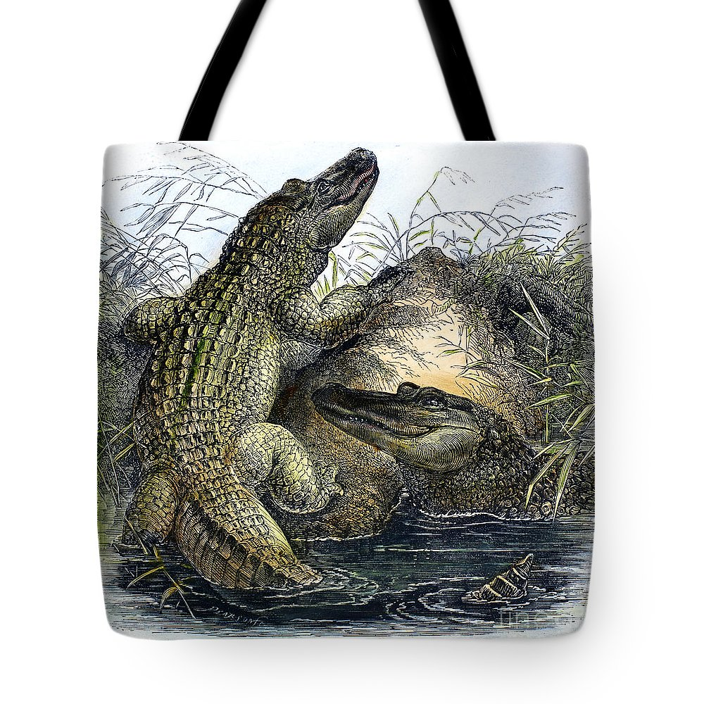 19th Century Tote Bag featuring the photograph Florida Alligators by Granger