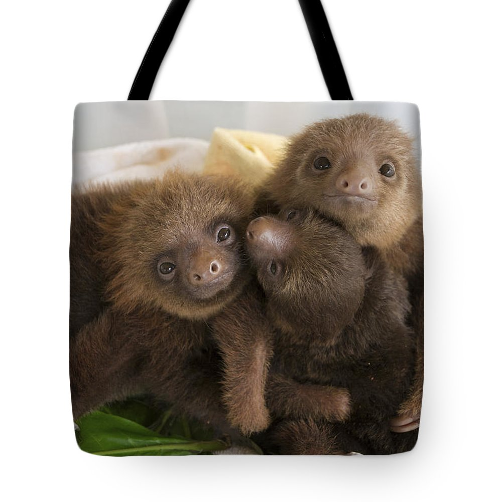 Mp Tote Bag featuring the photograph Hoffmanns Two-toed Sloth Choloepus by Suzi Eszterhas
