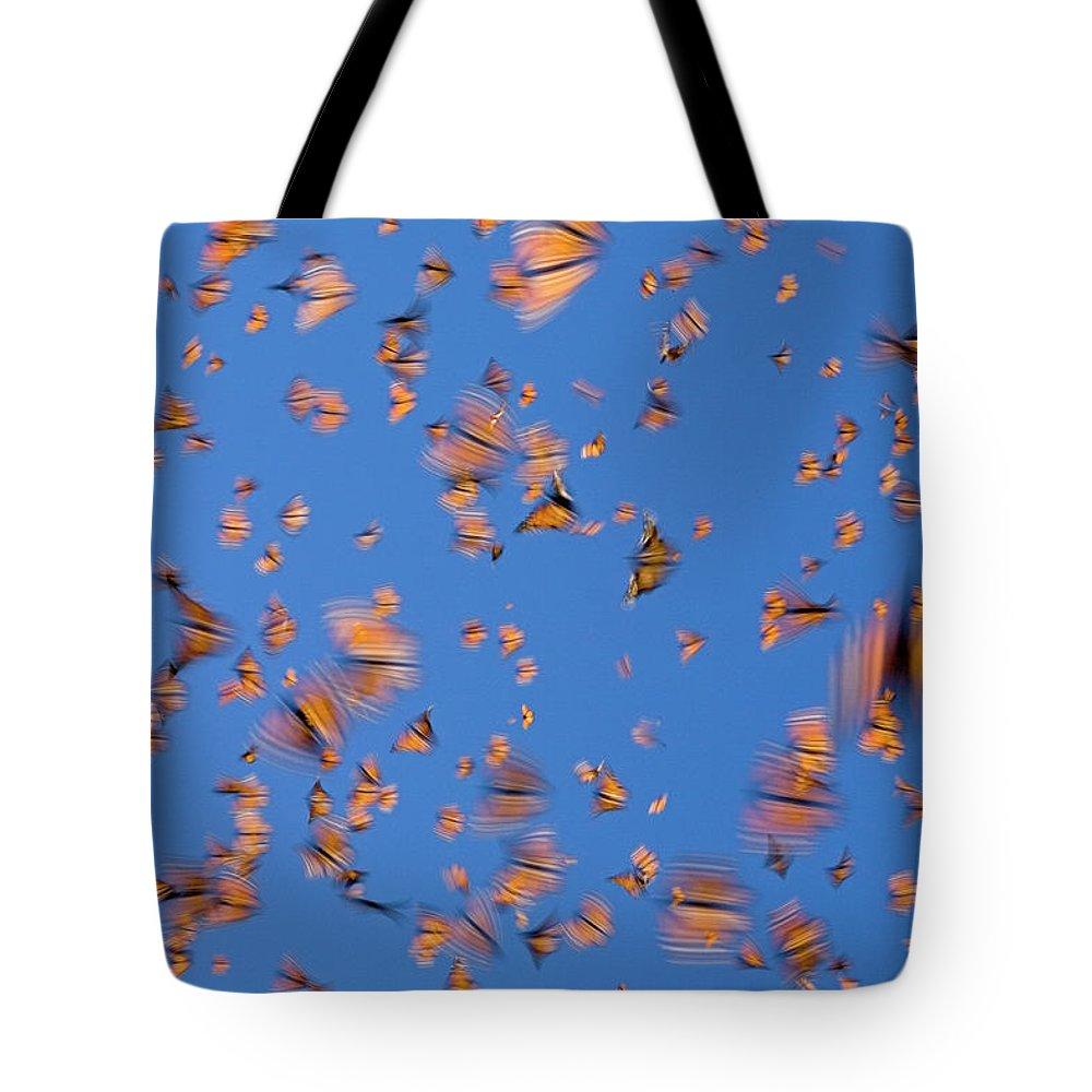 Mp Tote Bag featuring the photograph Monarch Danaus Plexippus Butterflies by Ingo Arndt