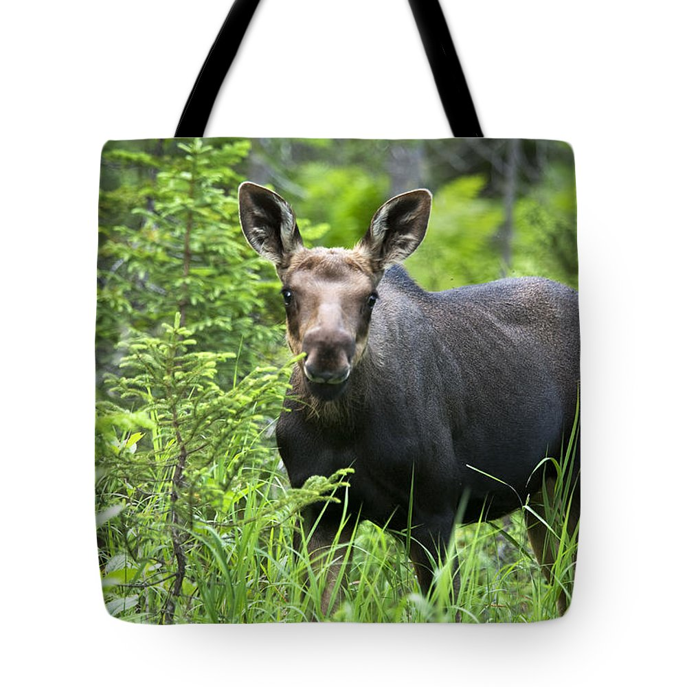Attraction Tote Bag featuring the photograph Moose. Two Month Old Moose Standing by Philippe Henry