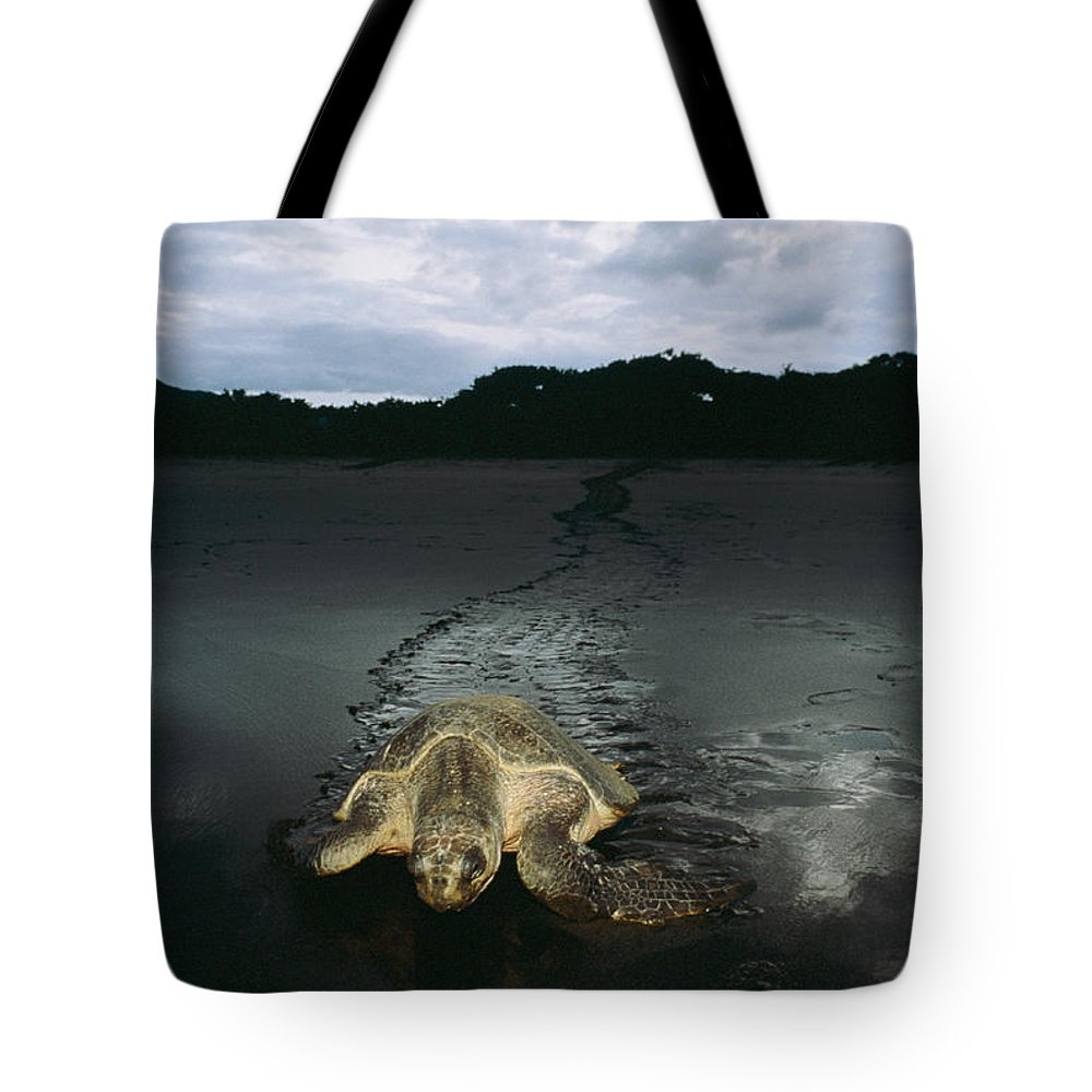 Costa Rica Tote Bag featuring the photograph Pacific Ridley Turtle Lepidochelys by Steve Winter