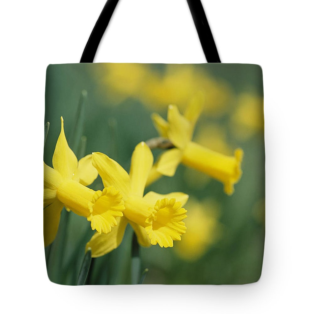 North America Tote Bag featuring the photograph Close View Of Early Spring Daffodils by Darlyne A. Murawski