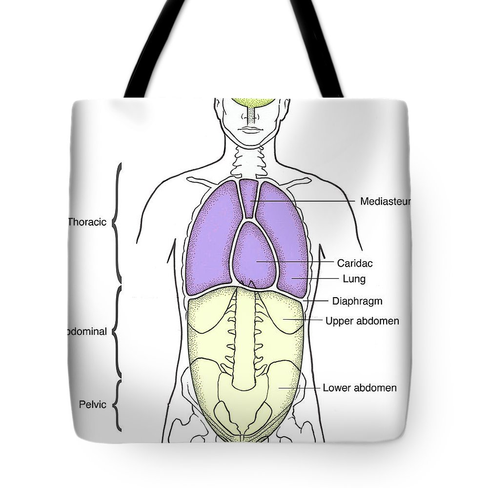 Illustration Of Anterior Body Cavities Tote Bag for Sale by Science ...