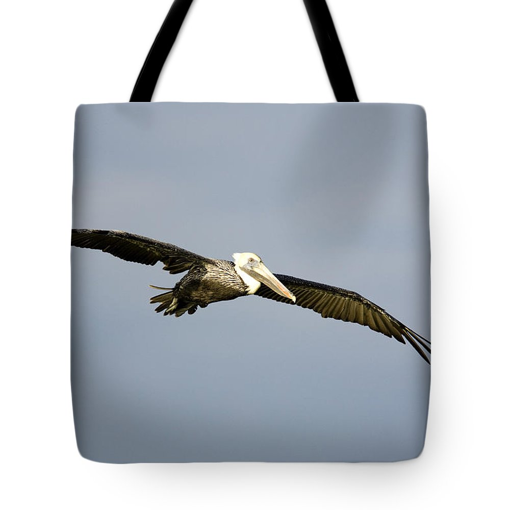 Brown Pelicans Tote Bag featuring the photograph Brown Pelican Pelecanus Occidentalis by Tim Laman