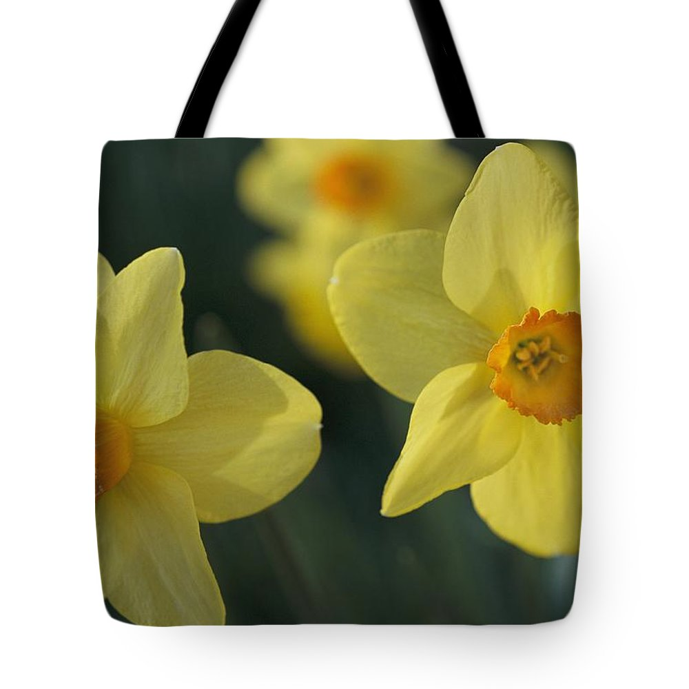 Plants Tote Bag featuring the photograph Close View Of Early Spring Daffodils by Darlyne A. Murawski
