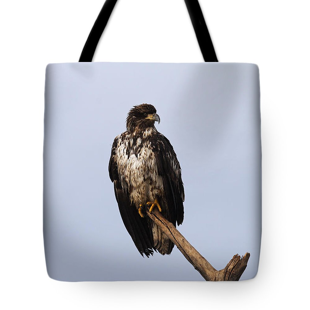 Doug Lloyd Tote Bag featuring the photograph Juvenile Bald Eagle by Doug Lloyd