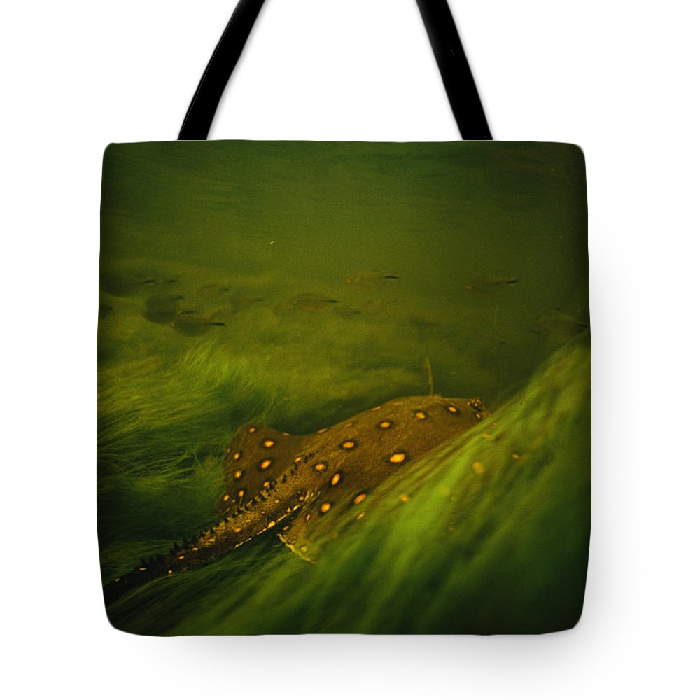 Underwater Tote Bag featuring the photograph A Freshwater Stingray Swims In A Meadow by Joel Sartore
