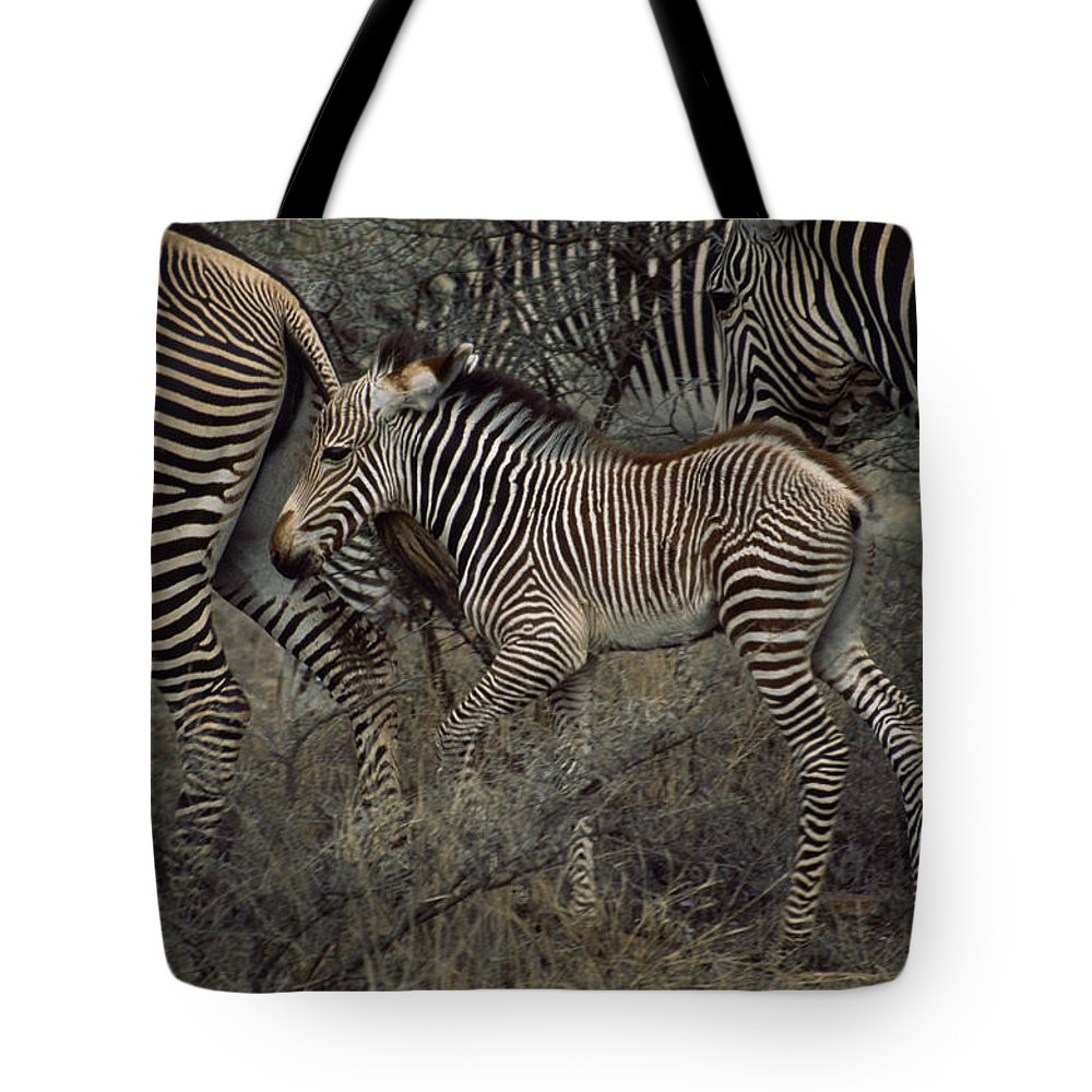 Samburu Game Reserve;refuges And Reserves;groups Of Animals;grevy's Zebras;equus Grevyi;juvenile Mammals;parenting (by Animals);rare Tote Bag featuring the photograph A Grevys Zebra With Young In Samburu by Marc Moritsch
