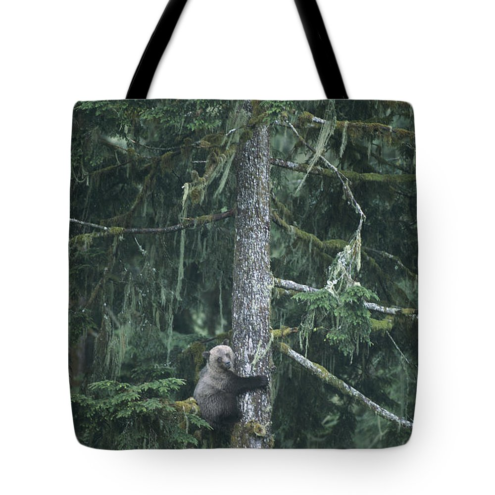 United States Of America Tote Bag featuring the photograph A Grizzly Bear Clings To A Fir Tree by Tom Murphy