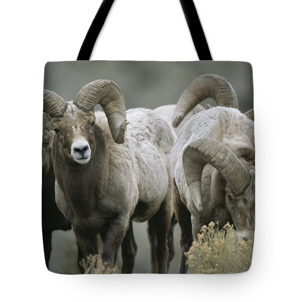 North America Tote Bag featuring the photograph A Group Of Bighorn Sheep Rams by Tom Murphy