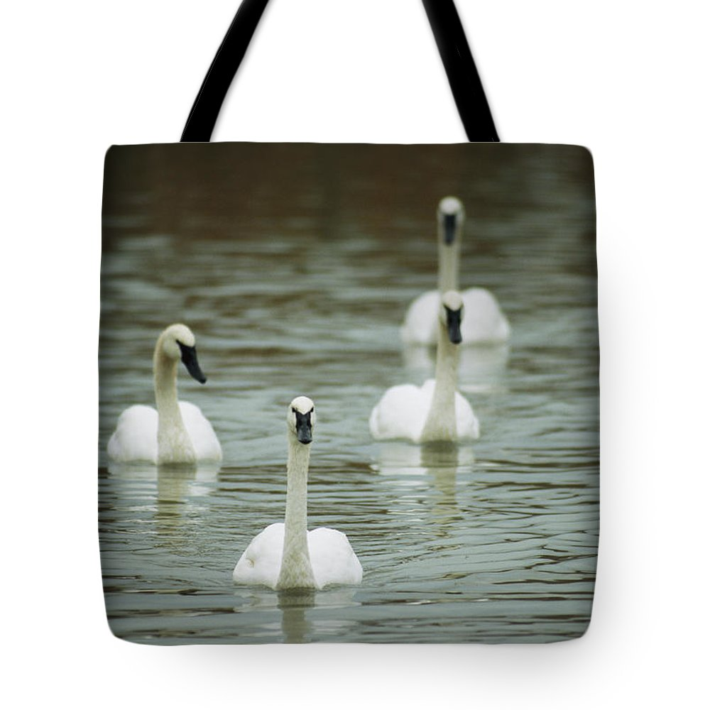Animals Tote Bag featuring the photograph A Group Of Swans Swimming On A County by Joel Sartore