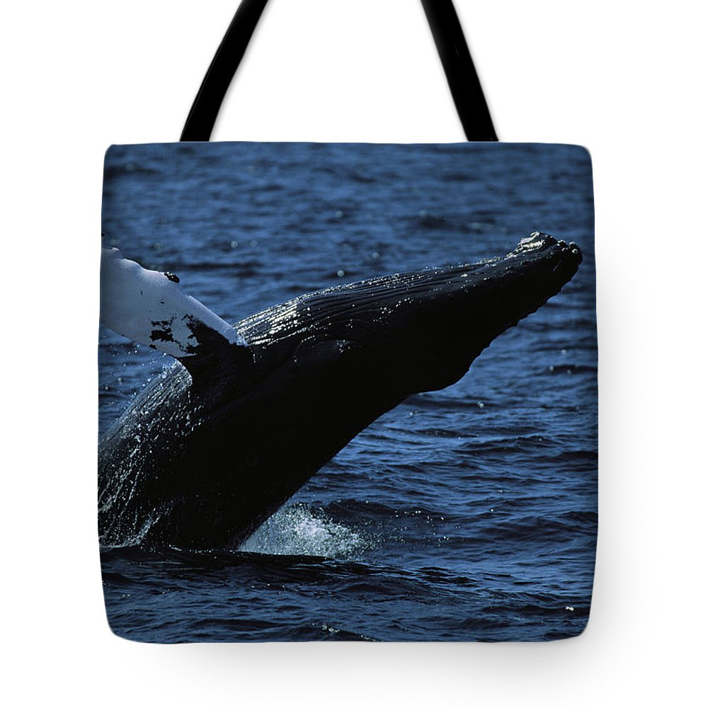 North America Tote Bag featuring the photograph A Humpback Whale Breaching by Tim Laman