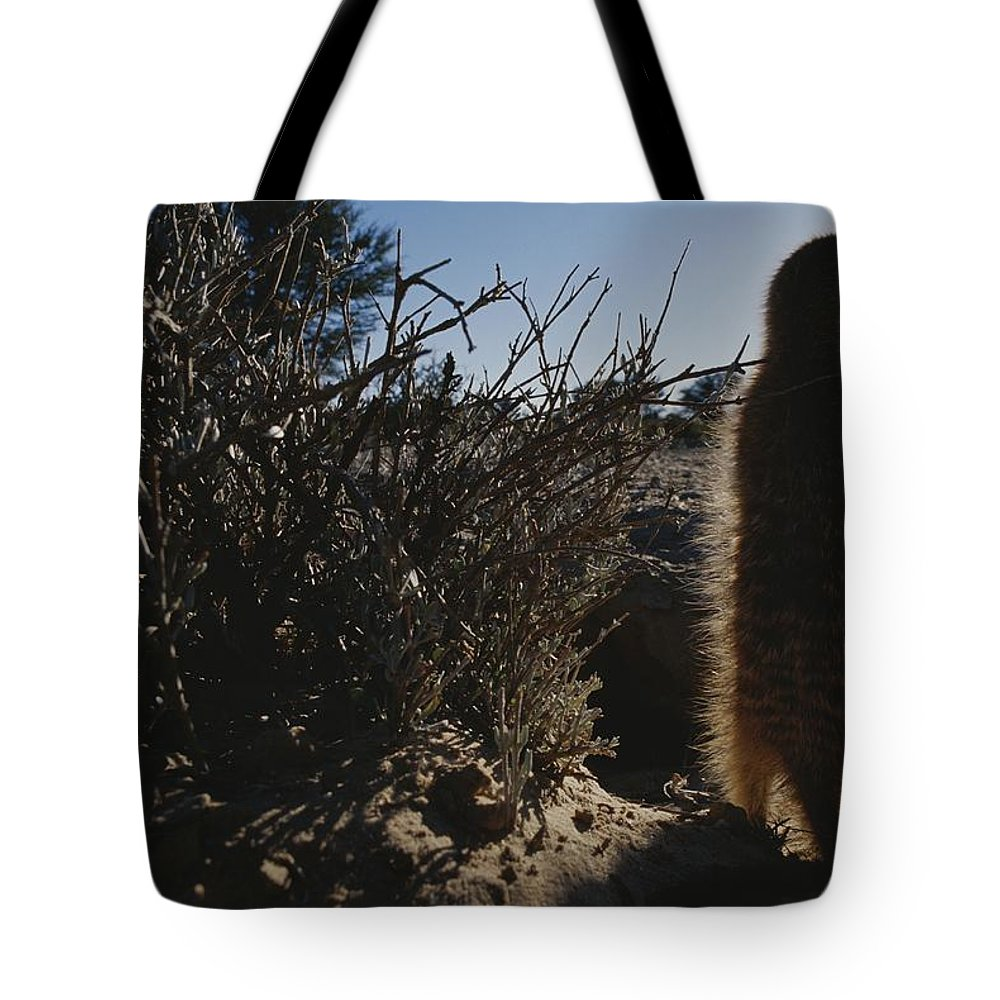 Africa Tote Bag featuring the photograph A Meerkat Suricata Suricatta Stands by Mattias Klum