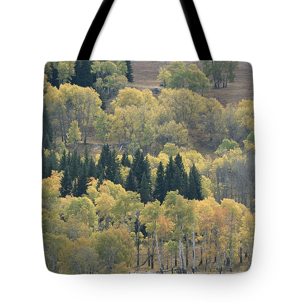 Plants Tote Bag featuring the photograph A Stand Of Aspen And Evergreen Trees by Tom Murphy