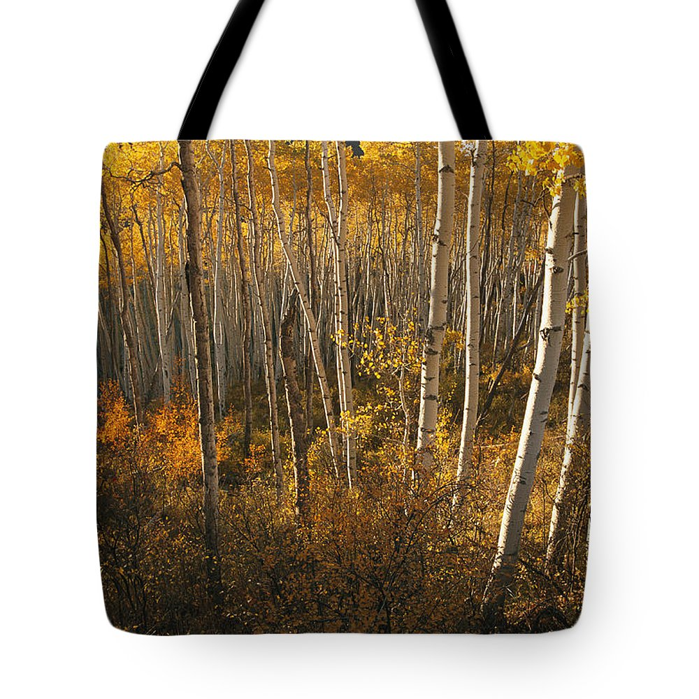 Scenes And Views Tote Bag featuring the photograph A Stand Of Aspen Trees Displaying by Melissa Farlow
