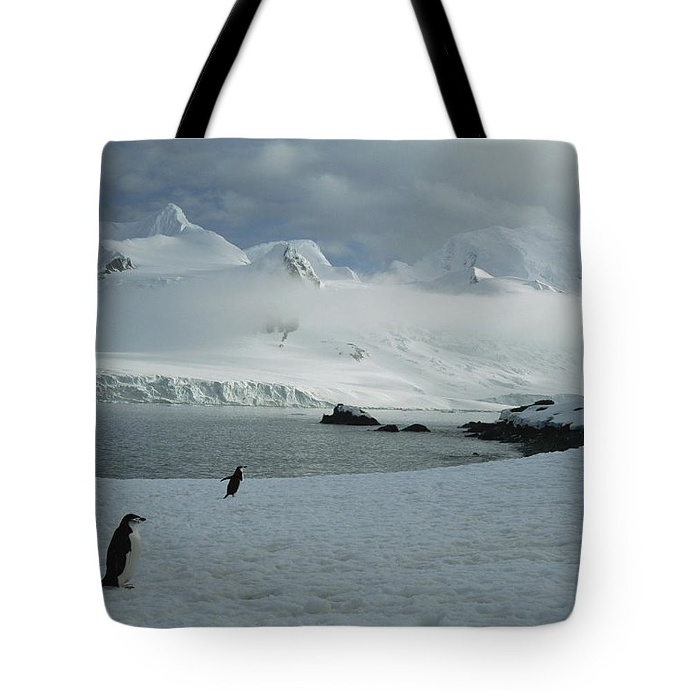 Antarctica Tote Bag featuring the photograph A Trio Of Chin Strap Penguins Amble by Tom Murphy