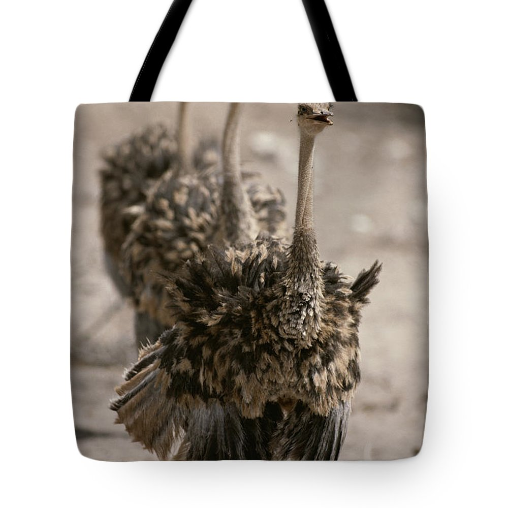 Animals Tote Bag featuring the photograph A Trio Of Ostriches, Struthio Camelus by Tom Murphy
