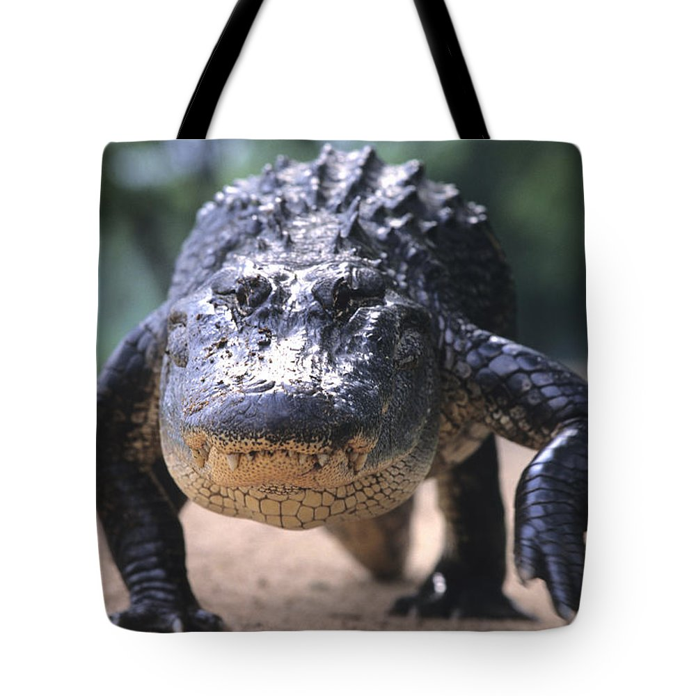 Alligators Tote Bag featuring the photograph American Alligator Walking On A Trail by Philippe Henry