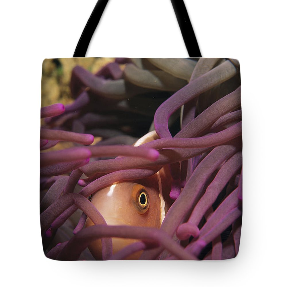 Cerianthus Species Tote Bag featuring the photograph An Anemonefish Peeks by Tim Laman
