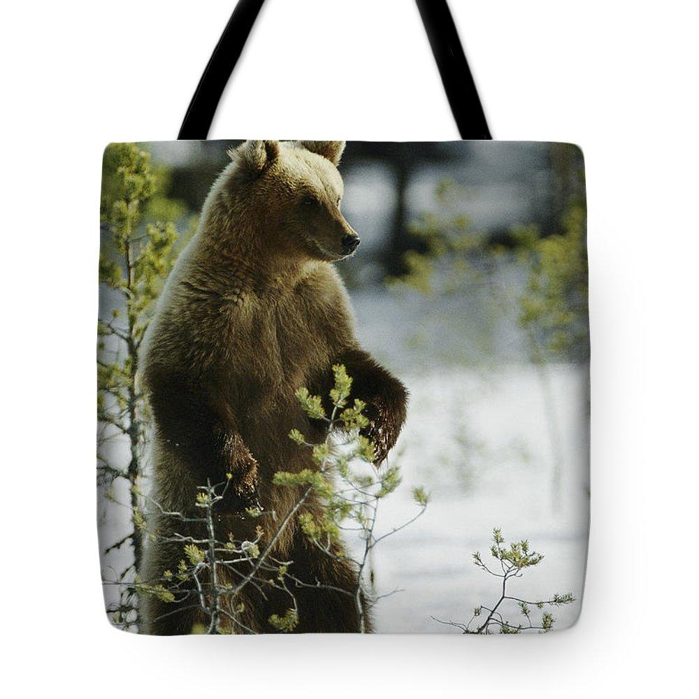 Animals Tote Bag featuring the photograph An Brown Bear Ursus Arctos Runs by Mattias Klum