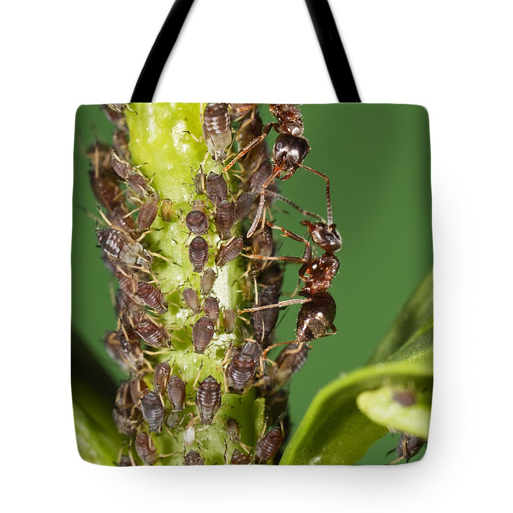 Mp Tote Bag featuring the photograph Ant Formicidae Pair Protecting Aphids by Konrad Wothe