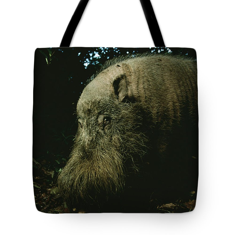 Borneo Island Tote Bag featuring the photograph Bearded Swine Sus Barbatus by Mattias Klum