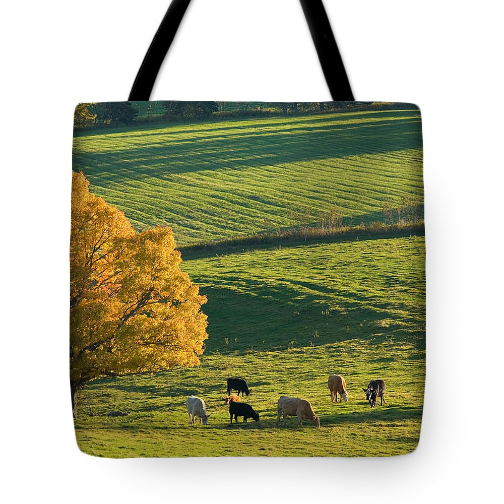 Agriculture Tote Bag featuring the photograph Beef Cattle Grazing In Autumn, North by John Sylvester