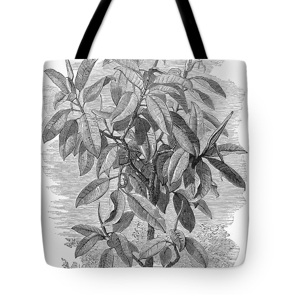 19th Century Tote Bag featuring the photograph Botany: Ficus Elastica by Granger