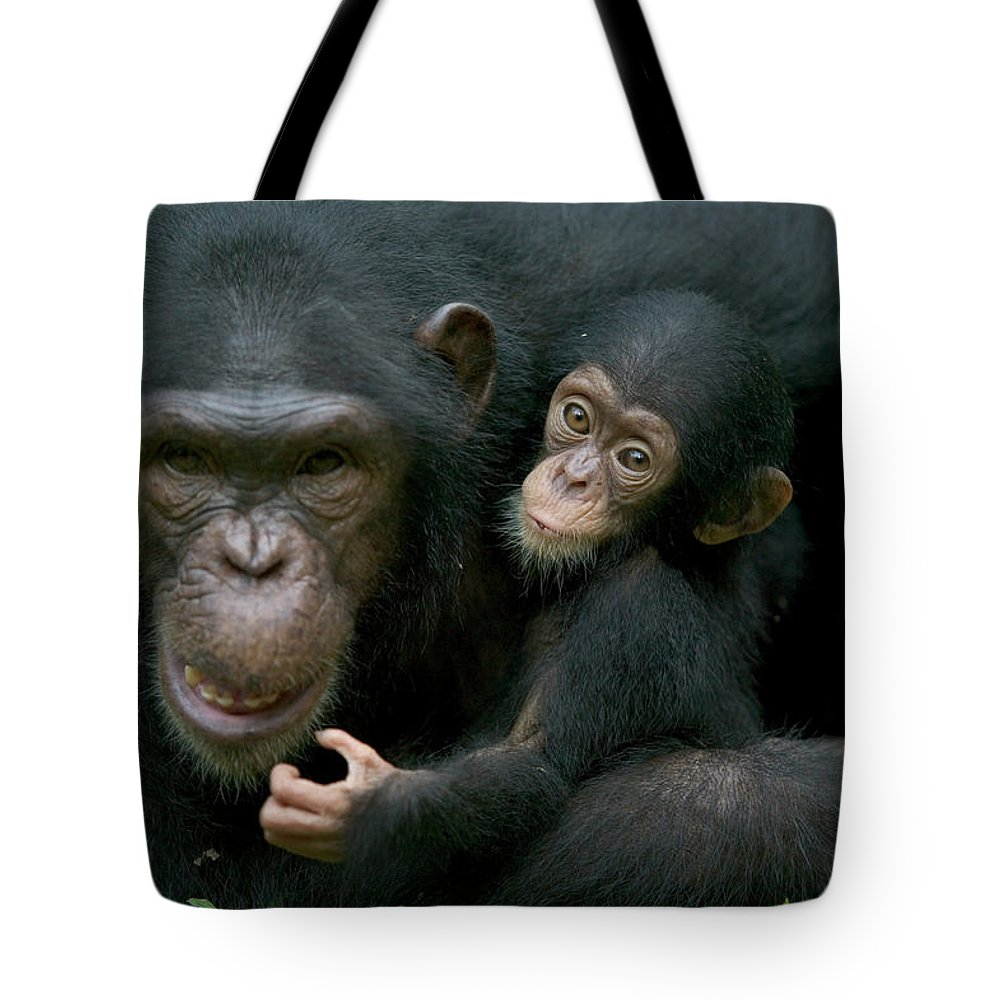 Mp Tote Bag featuring the photograph Chimpanzee Pan Troglodytes Adult Female by Cyril Ruoso