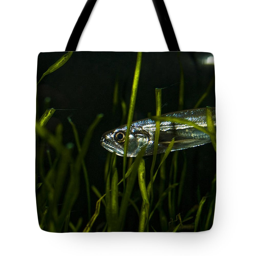 Vampire Tetra Tote Bag featuring the photograph Close-up Of A Vampire Tetra Hydrolycus by Todd Gipstein