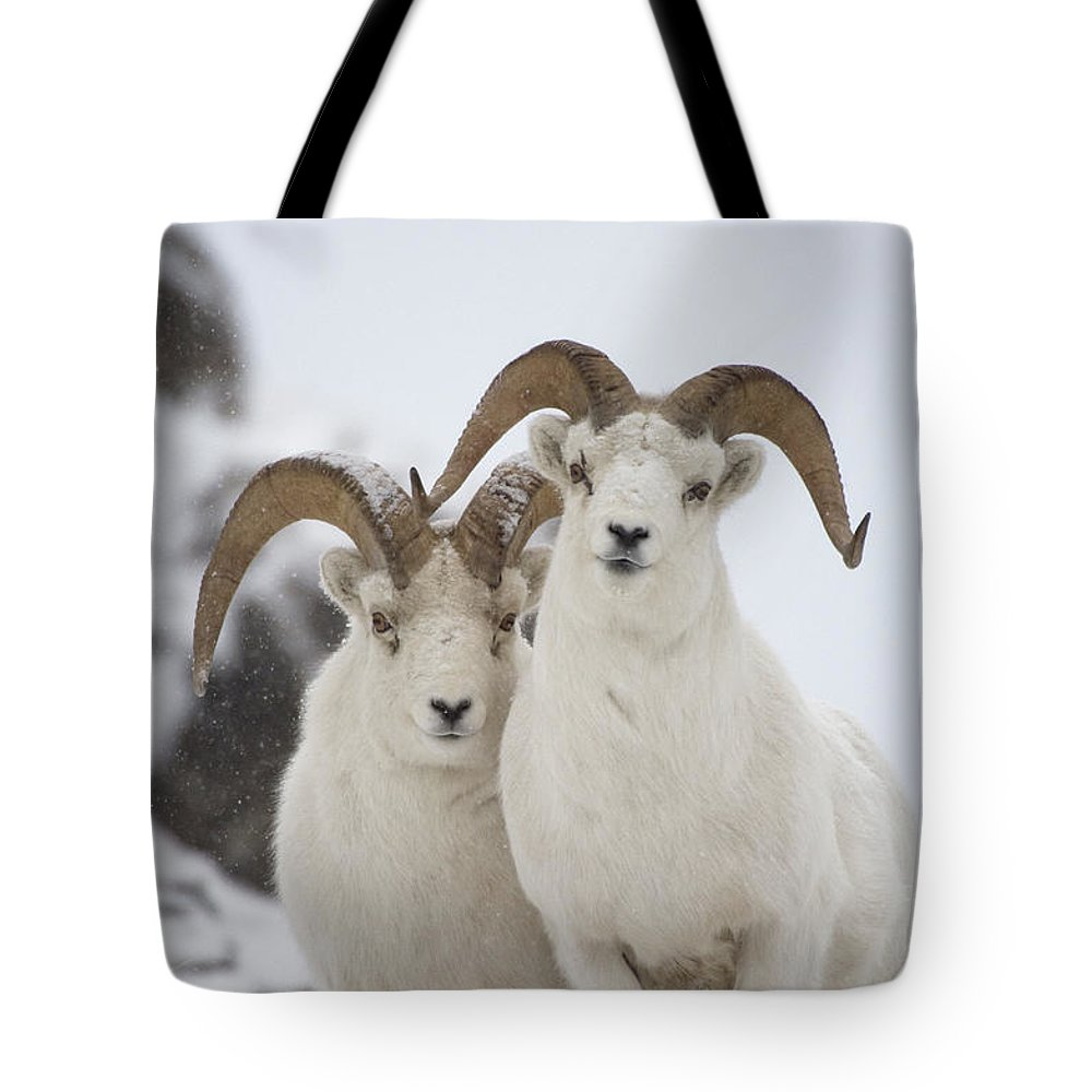 Mp Tote Bag featuring the photograph Dall Sheep Ovis Dalli Rams, Yukon by Michael Quinton