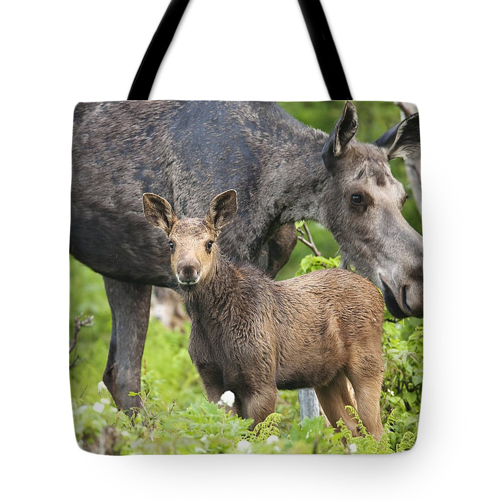 Calves Tote Bag featuring the photograph Female And A Three Weeks Old Moose by Philippe Henry