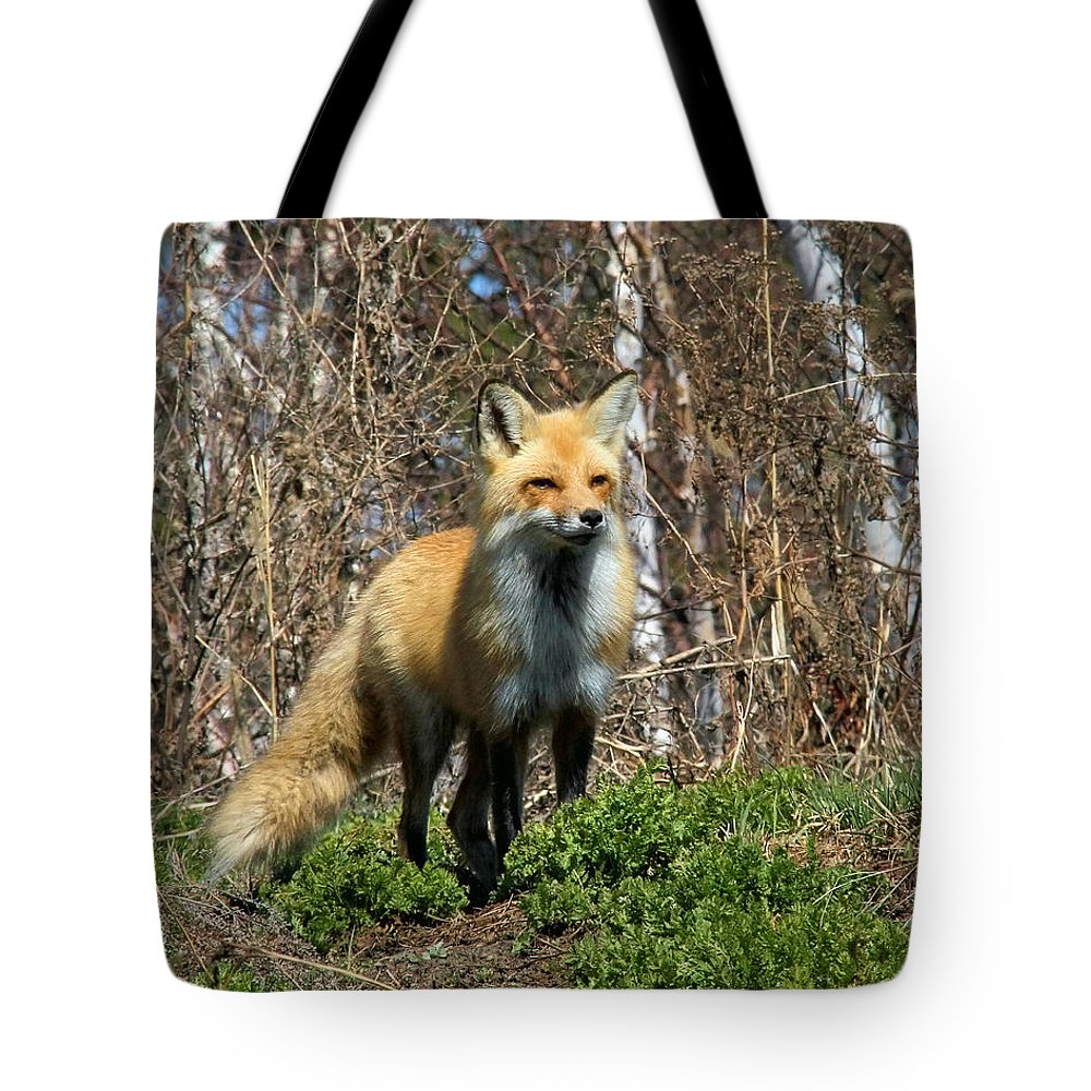 Red Fox Tote Bag featuring the photograph Fox And Birches by Doris Potter