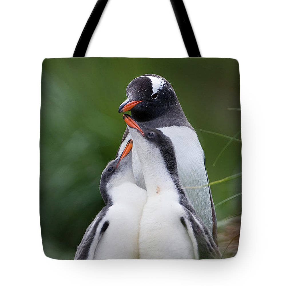 Mp Tote Bag featuring the photograph Gentoo Penguin Pygoscelis Papua Hungry by Suzi Eszterhas