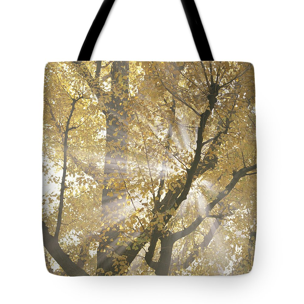 Color Image Tote Bag featuring the photograph Ginkgo Tree With Sunlight Streaming by Takahisa Hirano
