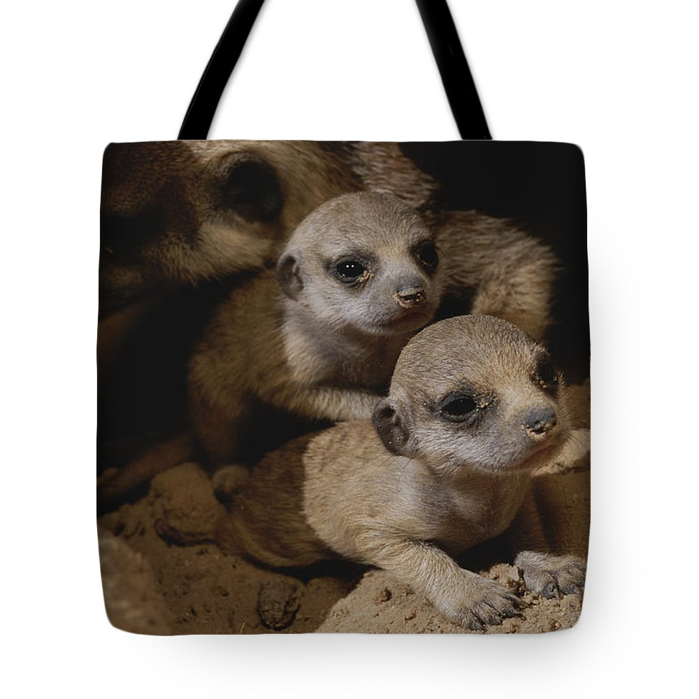 Africa Tote Bag featuring the photograph Just Waking Up, Two Meerkat Pups by Mattias Klum