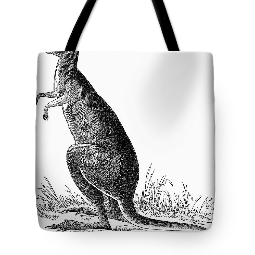 19th Century Tote Bag featuring the photograph Kangaroo by Granger