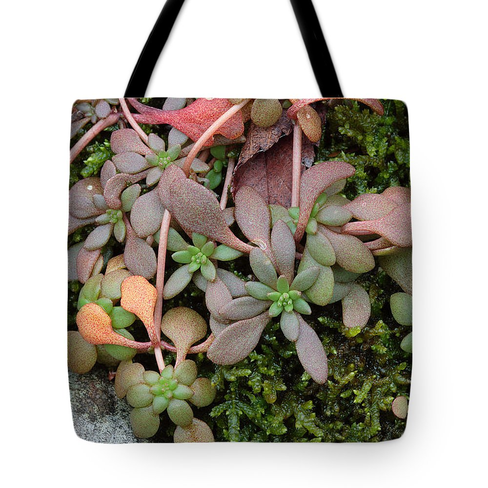 Sedum Pulchellum Tote Bag featuring the photograph Lime Stonecrop Leaves In Winter by Daniel Reed