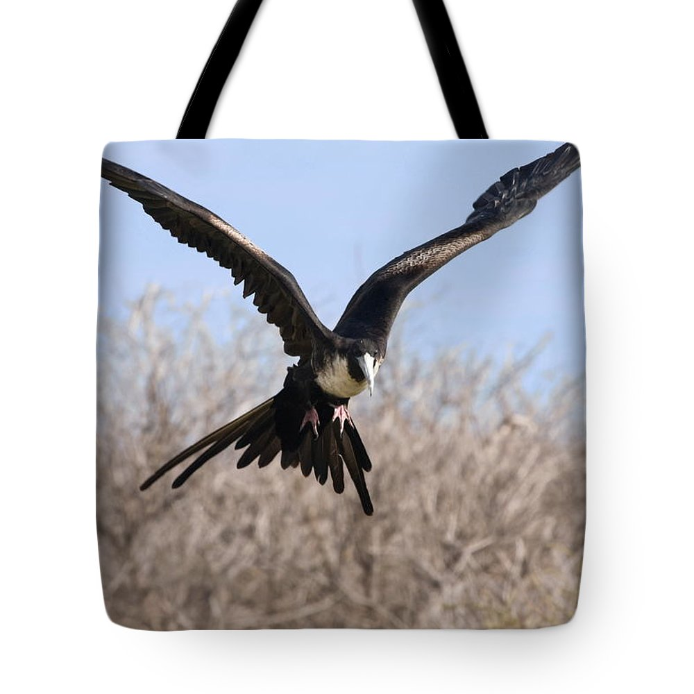 Magnificent Frigatebird About To Land Tote Bag featuring the photograph Magnificent Frigatebird by Sally Weigand