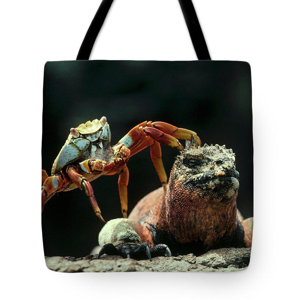Marine Iguana Tote Bag featuring the photograph Marine Iguana Amblyrhynchus Cristatus by Tui De Roy
