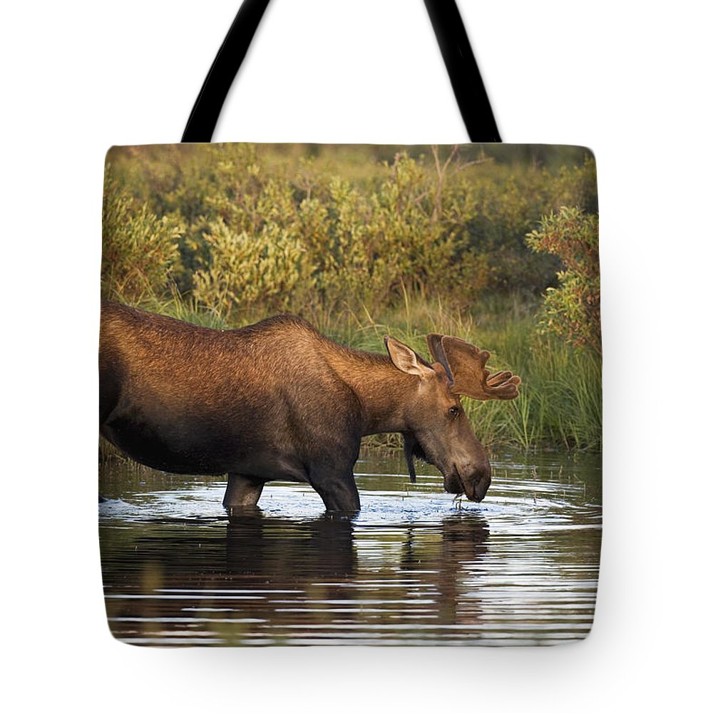 Color Images Tote Bag featuring the photograph Moose Drinking In A Pond, Tombstone by Philippe Henry