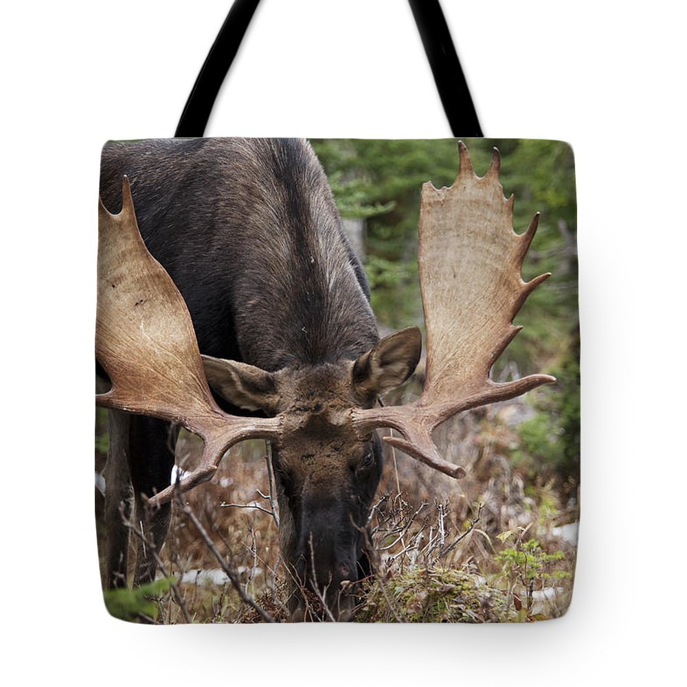 Antlers Tote Bag featuring the photograph Moose. Male Feeding In A Forested Area by Philippe Henry